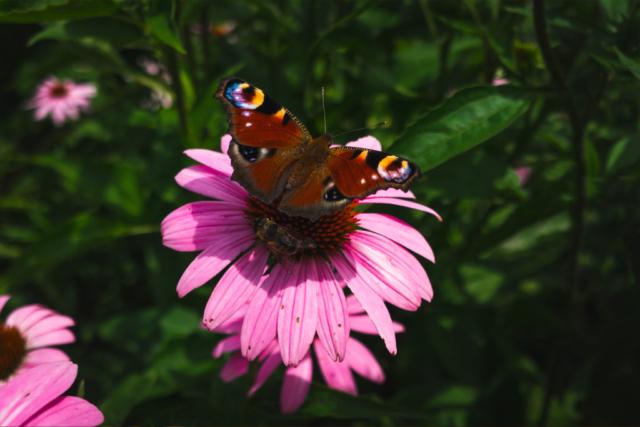 Lepke, Pillangó, Méh, Virág, Butterfly, Bee, Flower