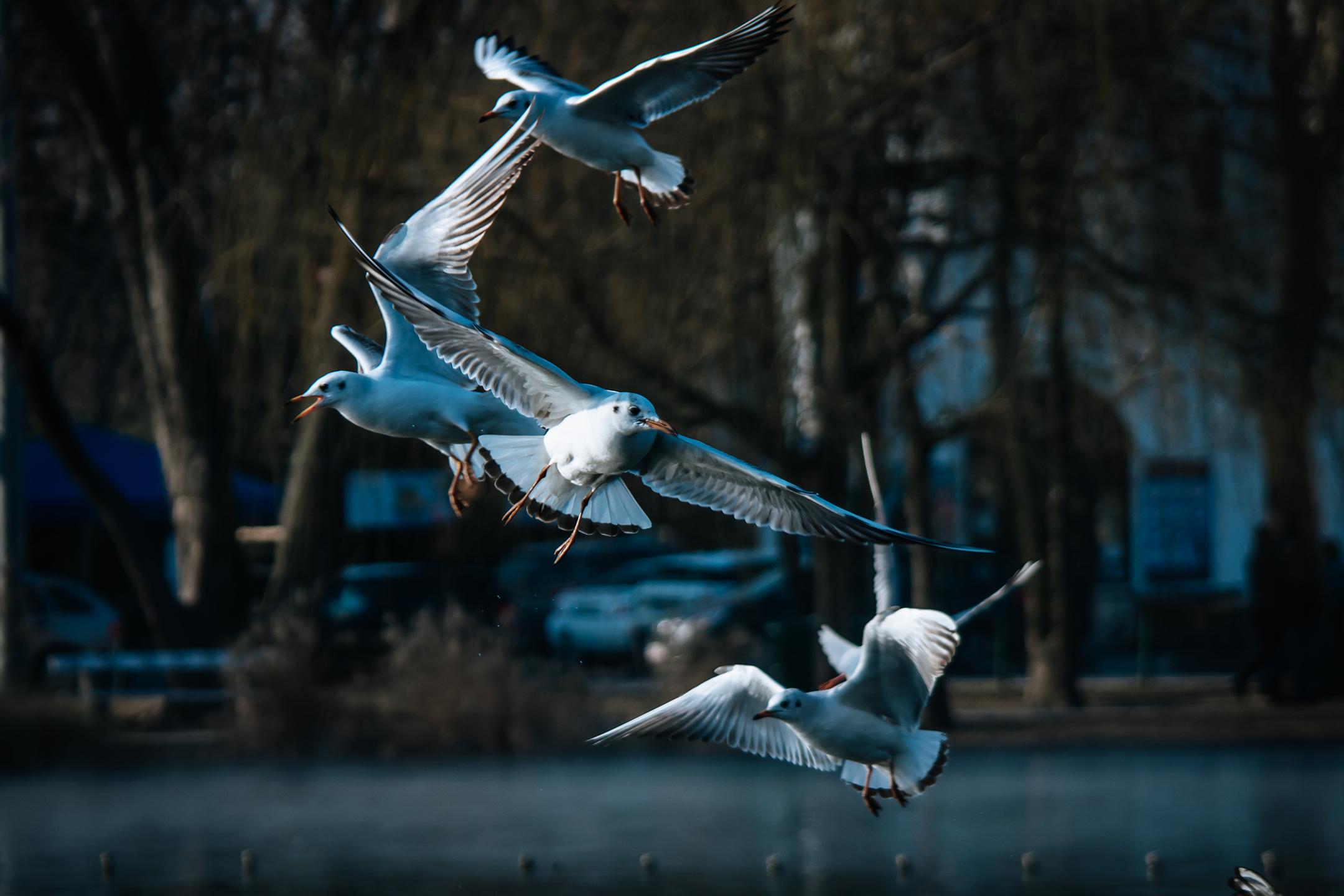 Seagulls, Sirályok, Budapest, Liget